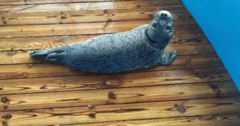 spotted seal cub on wooden floor