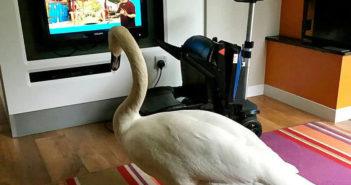 swan watching TV