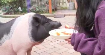 woman feeding pet pig in shanghai