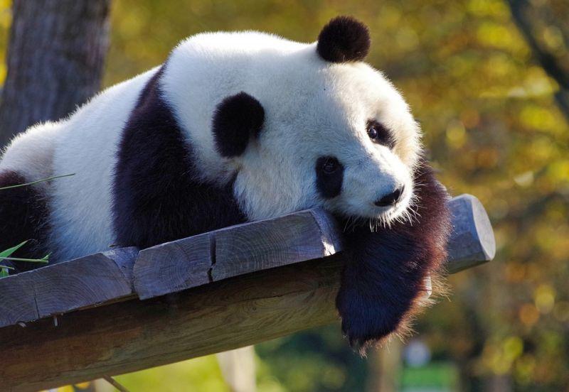 中国熊猫保护与研究工作取得成功