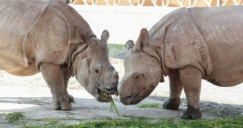 two single-horned rhinos eating grass at shanghai wildlife park