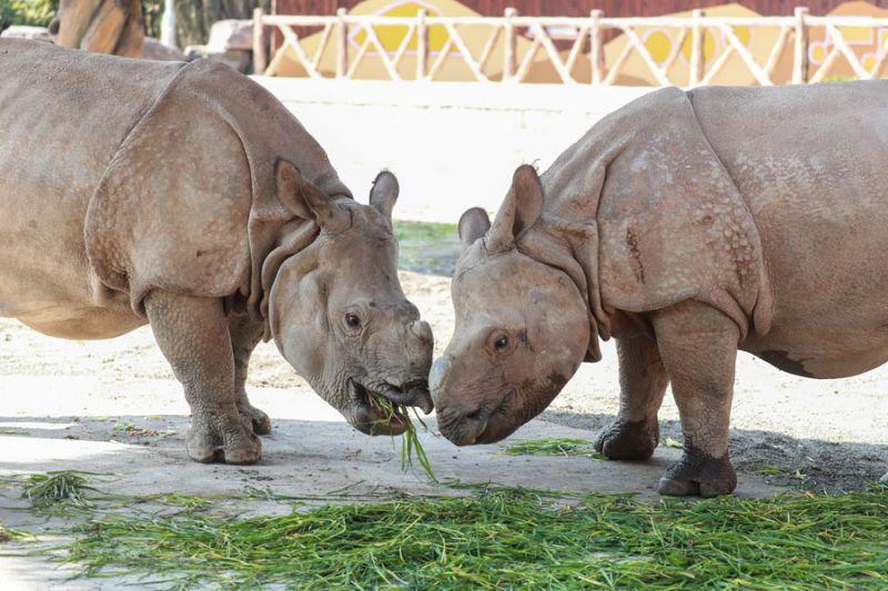 two single-horned rhinos eating grass at shanghai wildlife park