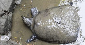 top view of Yangtze Giant Softshell Turtle