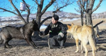 young girl with two wolves in inner mongolia