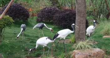 red-crowned cranes at Shanghai Zoo
