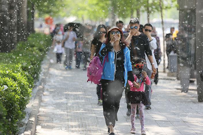 为何北京的杨柳絮如此多?