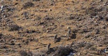 back view of three snow leopards walking in the wild