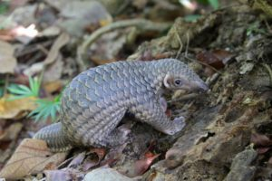 sunda pangolin in the wild