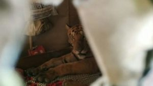 tiger lying on a bed in india