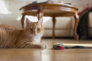 pet cat sitting on floor next to toy