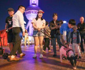 girl taking pet pig for a walk in shanghai