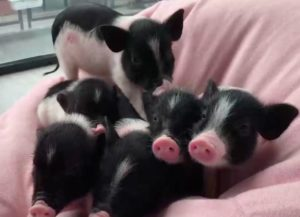 group of small pigs