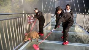 staff helping boar on glass walkway