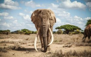 front view of big tusker elephant
