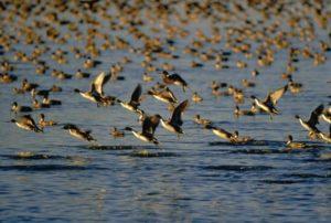 flock of ducks taking flight from water