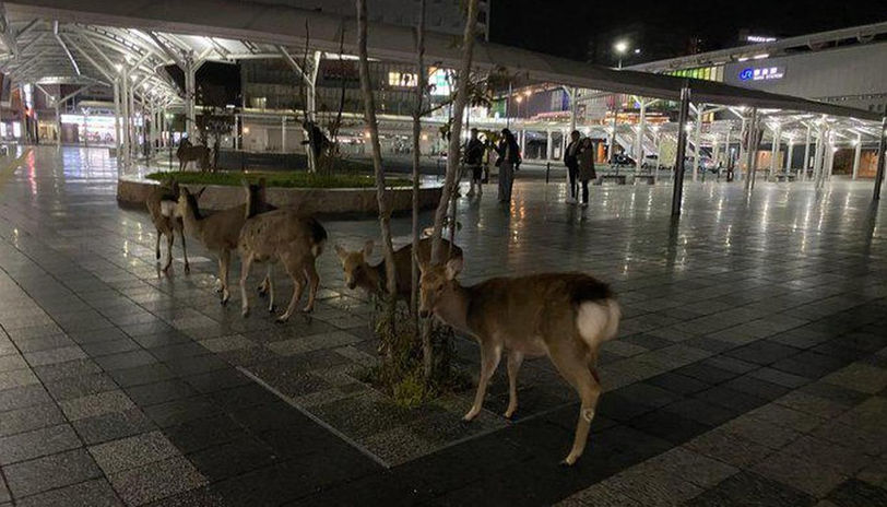 deers roaming japanese city