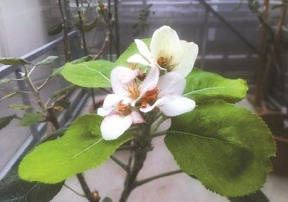 newton's apple tree pink flower blooming
