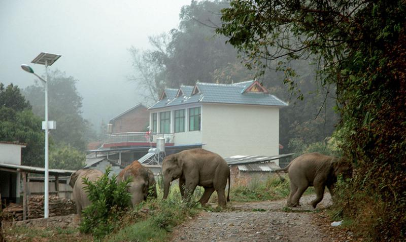 elephants roaming village in yunnan province