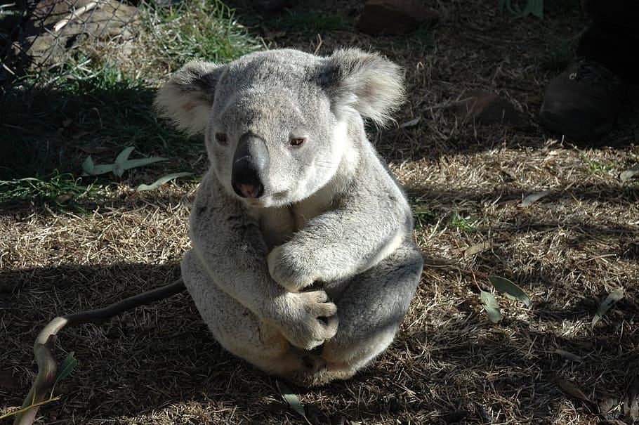 koala sitting on the ground