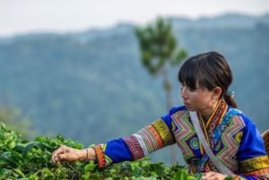 lahu ethnic group woman picking leaves in china