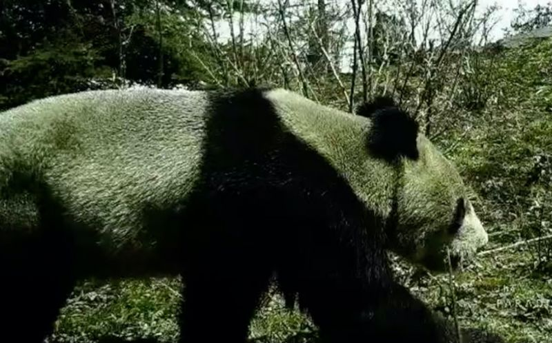 side view of wild panda in china