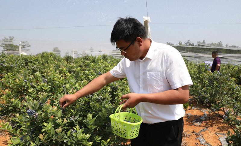 man picking blueberries in china