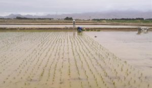 seawater resistant rice being planted in china