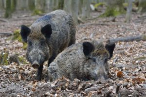 wild boars in germany