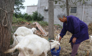 woman feeding sheep in china