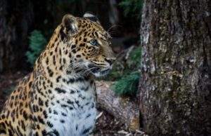 north chinese leopard in the forest