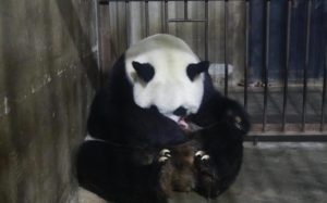 panda mother hugging newborn cub