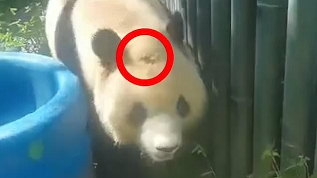 panda with bald spot