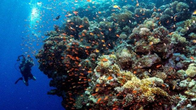 scuba diver next to coral reef in australia