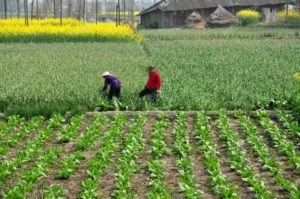 farmers working the fields in china