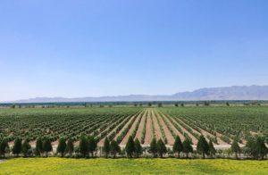ningxia desert vineyard