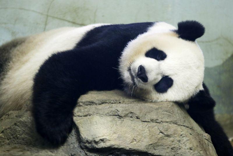 panda relaxing on a rock