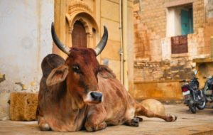 cow sitting on street in india