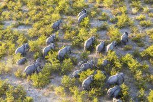 top view of elephants walking through bush
