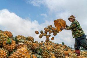 man farming pineapples in china