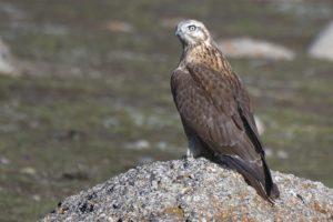upland buzzard standing on rock