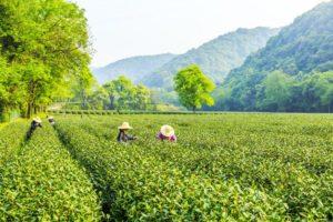 farmers working in tea field in china
