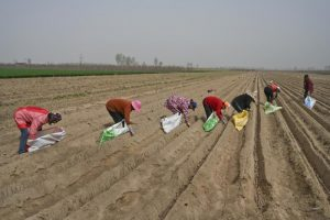 line of farmers working the field in china