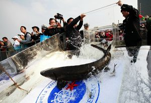 sturgeon being released down slide in china