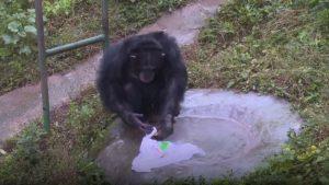 chimpanzee washing clothes at theme park in china