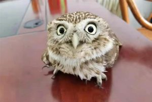 little owl discovered in shanghai, china