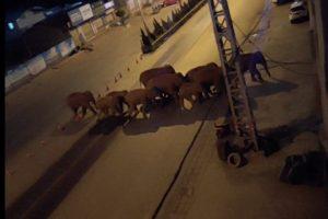 elephant herd in kunming street in china