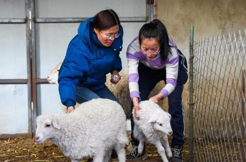 sisters working in sheep pen in china