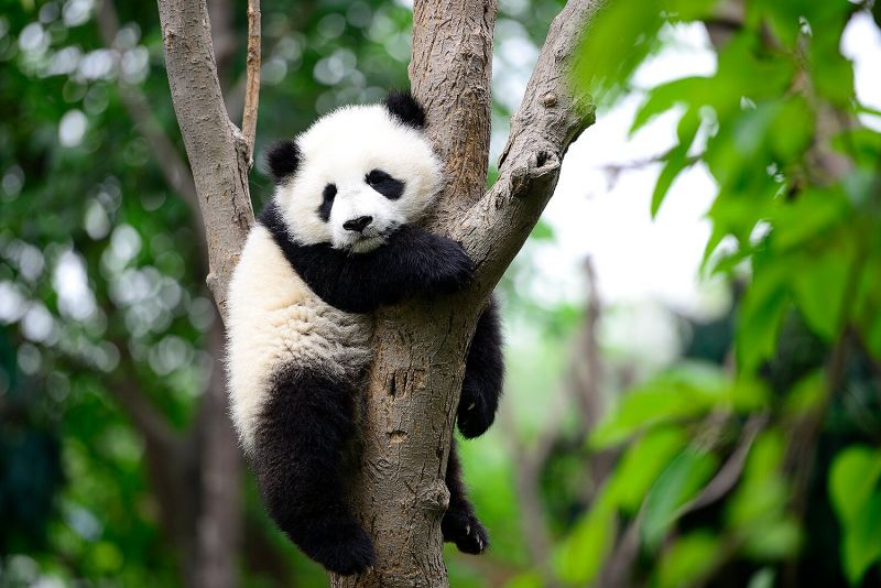 young panda sitting in a tree