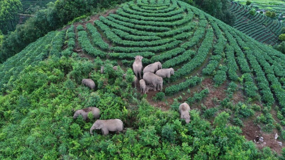 The Adventures of China's Wandering Elephants
