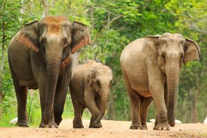 family of Asian elephants walking through forest path